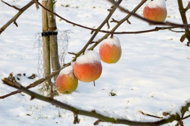 apples with snow