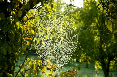 pear-tree-web
