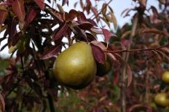 Pear_3